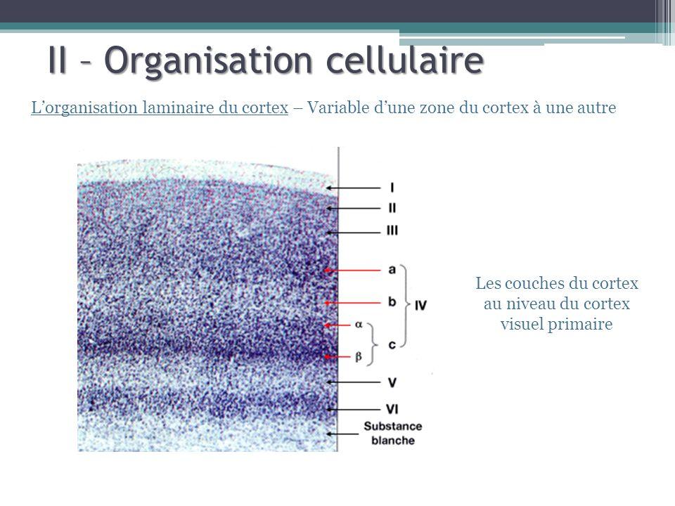 II – Organisation cellulaire Lorganisation laminaire du cortex – Variable dune zone du cortex à une autre Les couches du cortex au niveau du cortex vi