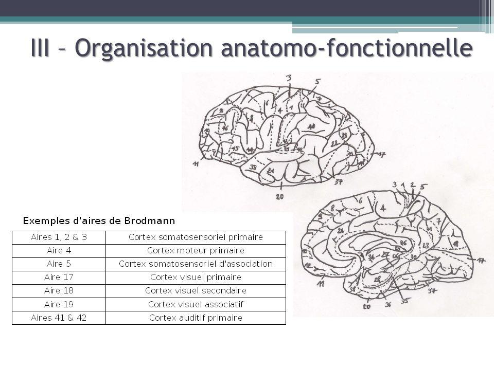 A. Le lobe temporal, siège de laudition