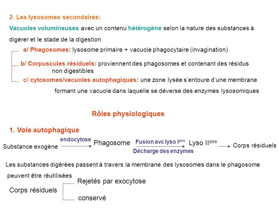 2. Les lysosomes secondaires: Vacuoles volumineuses avec un contenu hétérogène selon la nature des substances à digérer et le stade de la digestion a/