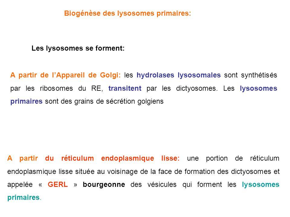 Biogénèse des lysosomees primaires: Lysosomes primaires Réticulum endoplasmique rugueux dictyosome Hydrolases lysosomales Lysosomes primaires GERL......................