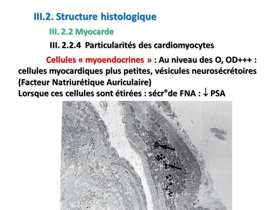 Cellules « myoendocrines » : Au niveau des O, OD+++ : cellules myocardiques plus petites, vésicules neurosécrétoires (Facteur Natriurétique Auriculaire) Lorsque ces cellules sont étirées : sécr°de FNA : PSA III.2.