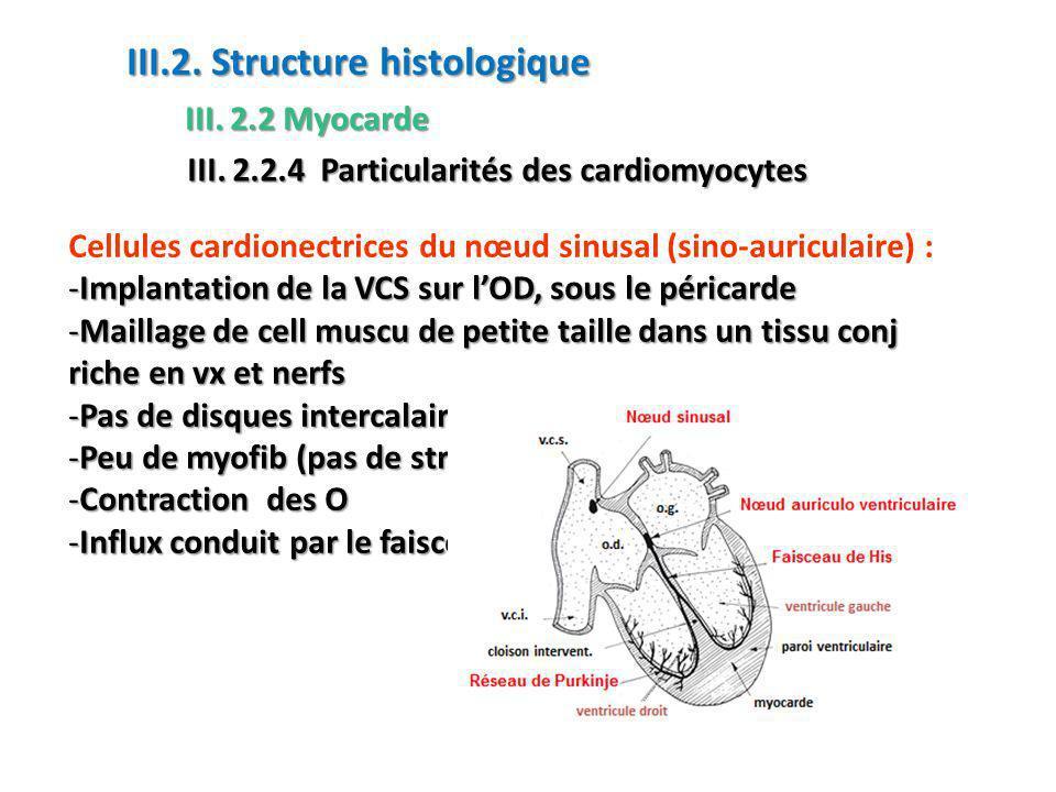 Cellules cardionectrices du nœud sinusal (sino-auriculaire) : -Implantation de la VCS sur lOD, sous le péricarde -Maillage de cell muscu de petite taille dans un tissu conj riche en vx et nerfs -Pas de disques intercalaires, jointes par des desmosomes -Peu de myofib (pas de striations) -Contraction des O -Influx conduit par le faisceau auriculaire inter-nodal III.2.