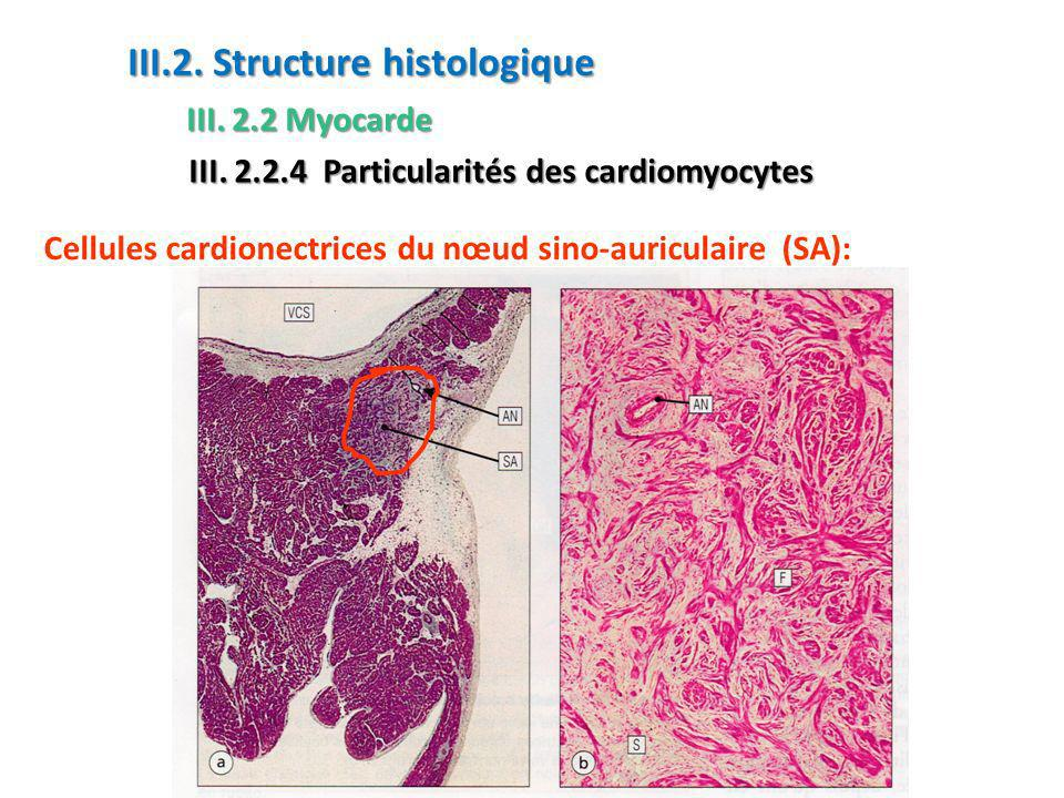 Cellules cardionectrices du nœud sino-auriculaire (SA): III.2.