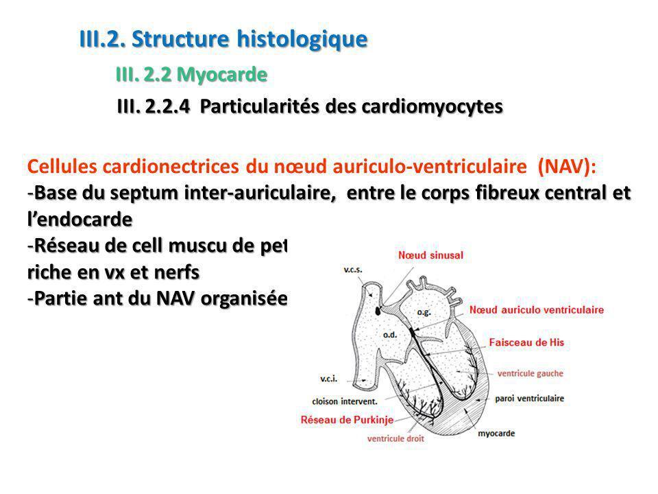Cellules cardionectrices du nœud auriculo-ventriculaire (NAV): -Base du septum inter-auriculaire, entre le corps fibreux central et lendocarde -Réseau de cell muscu de petite taille (id NS)dans un tissu conj riche en vx et nerfs -Partie ant du NAV organisée Fibres // fx de His III.2.