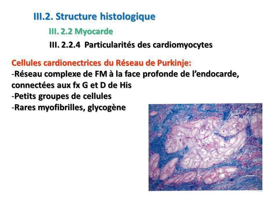 Cellules cardionectrices du Réseau de Purkinje: -Réseau complexe de FM à la face profonde de lendocarde, connectées aux fx G et D de His -Petits groupes de cellules -Rares myofibrilles, glycogène III.2.