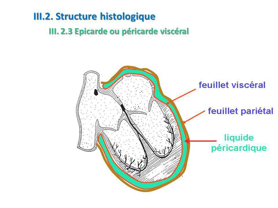 III.2. Structure histologique III. 2.3 Epicarde ou péricarde viscéral