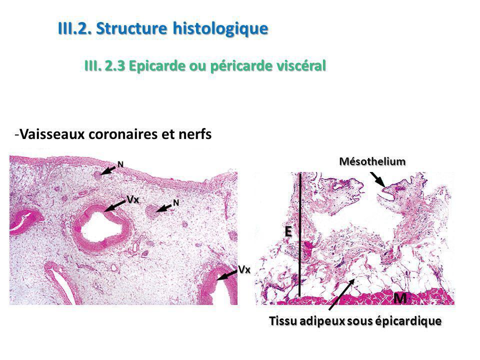 -Vaisseaux coronaires et nerfs III.2.3 Epicarde ou péricarde viscéral III.2.
