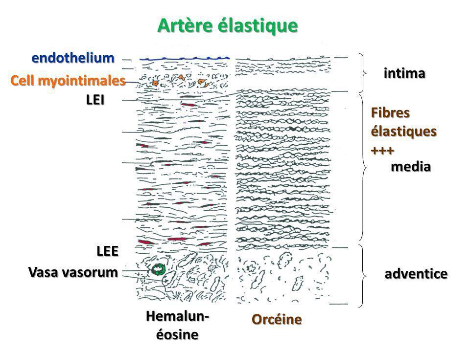 Artère élastique Hemalun- éosine Orcéine endothelium LEI LEE Vasa vasorum Cell myointimales intima media adventice Fibres élastiques +++