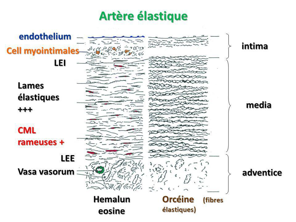 Artère élastique Hemalun eosine Orcéine (fibres élastiques) endothelium LEI LEE Vasa vasorum Cell myointimales Lames élastiques +++ CML rameuses + intima media adventice
