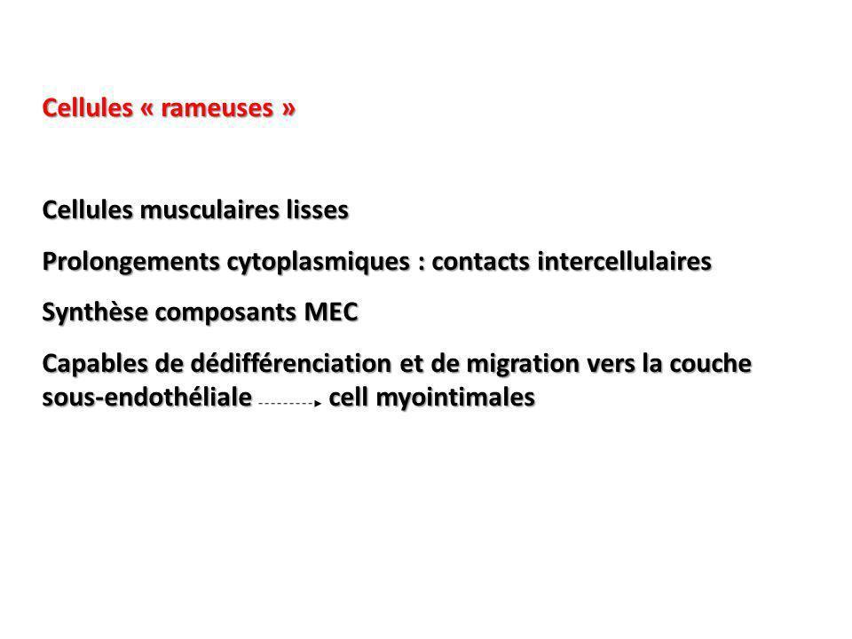 Cellules « rameuses » Cellules musculaires lisses Prolongements cytoplasmiques : contacts intercellulaires Synthèse composants MEC Capables de dédifférenciation et de migration vers la couche sous-endothéliale cell myointimales