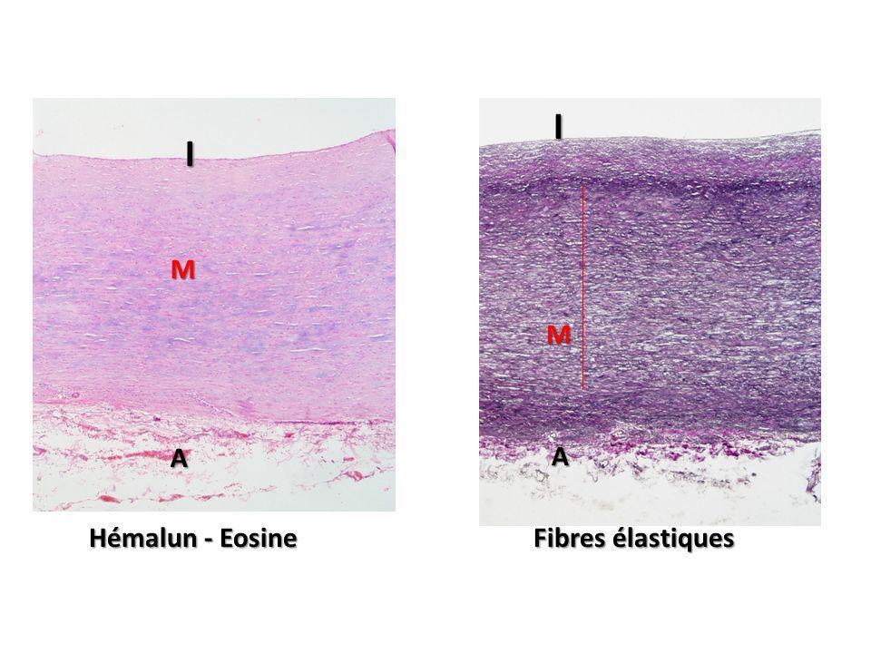 Hémalun - Eosine Fibres élastiques I I M M A A