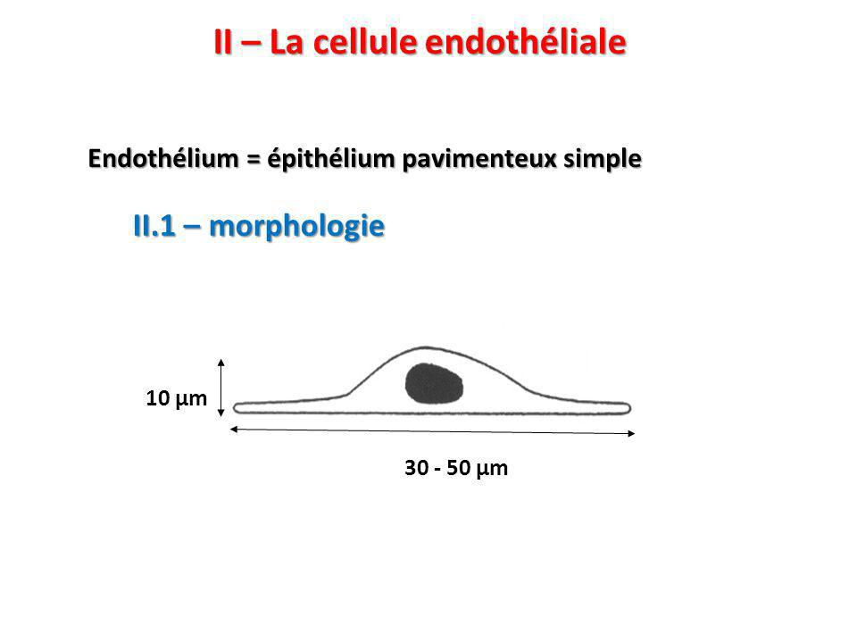 II – La cellule endothéliale 30 - 50 μm 10 μm II.1 – morphologie Endothélium = épithélium pavimenteux simple