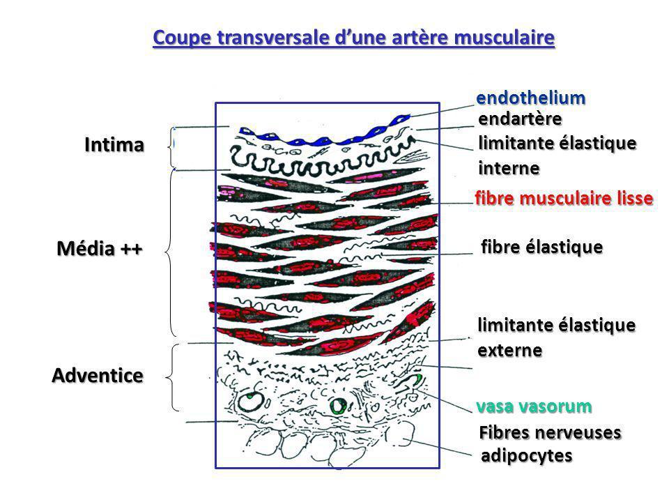 Intima Média ++ Adventice endothelium endartère limitante élastique interne fibre musculaire lisse fibre élastique limitante élastique externe vasa vasorum Coupe transversale dune artère musculaire adipocytes Fibres nerveuses