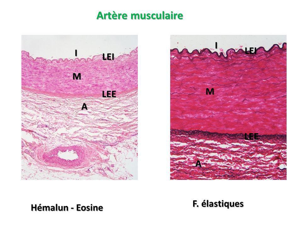 Artère musculaire Hémalun - Eosine F. élastiques I M LEE A I M LEE A LEI LEI