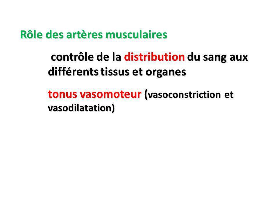 Rôle des artères musculaires contrôle de la distribution du sang aux différents tissus et organes contrôle de la distribution du sang aux différents tissus et organes tonus vasomoteur ( vasoconstriction et vasodilatation)