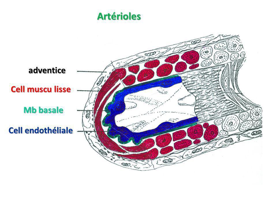 Artérioles adventice Cell muscu lisse Cell endothéliale Mb basale