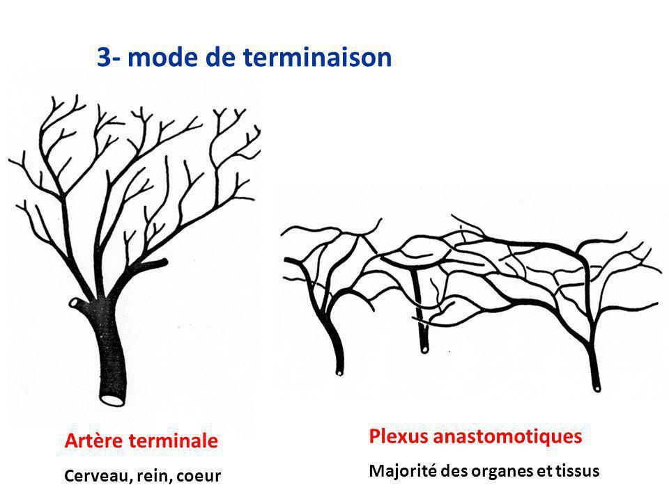 3- mode de terminaison Artère terminale Cerveau, rein, coeur Plexus anastomotiques Majorité des organes et tissus