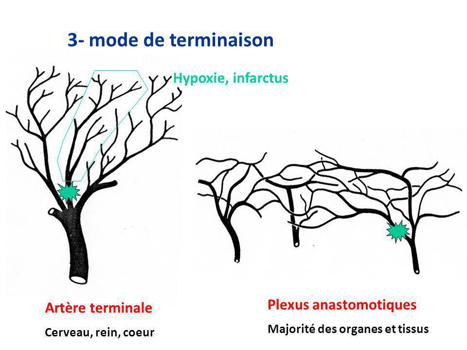 3- mode de terminaison Artère terminale Cerveau, rein, coeur Plexus anastomotiques Majorité des organes et tissus Hypoxie, infarctus