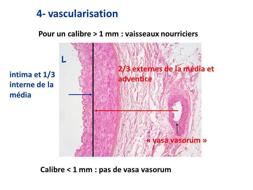 4- vascularisation intima et 1/3 interne de la média Calibre < 1 mm : pas de vasa vasorum L 2/3 externes de la média et adventice « vasa vasorum » Pour un calibre > 1 mm : vaisseaux nourriciers