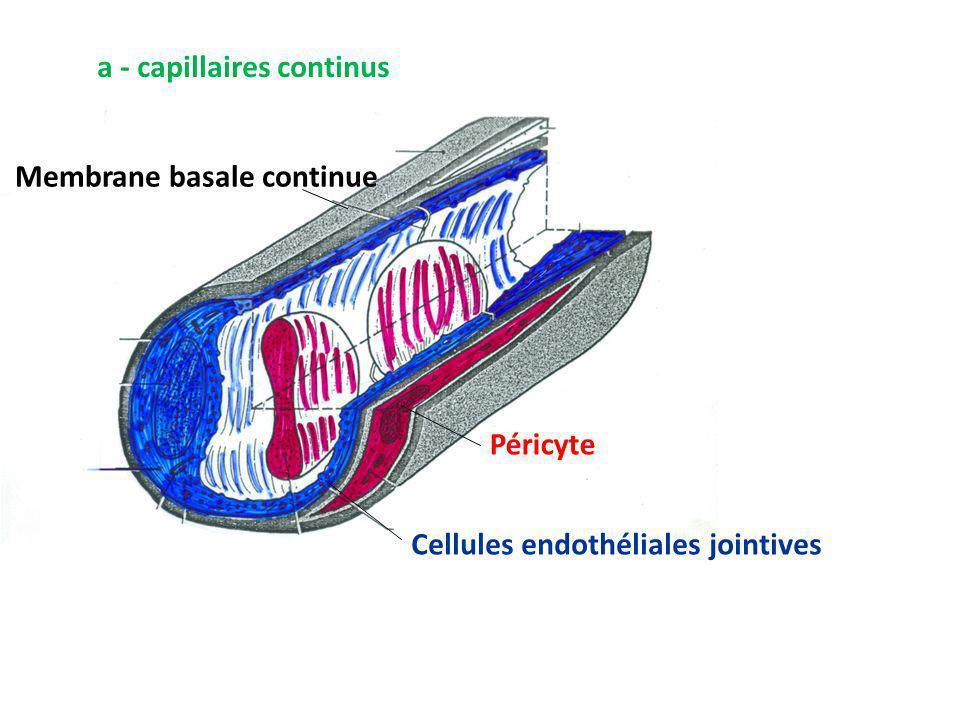 a - capillaires continus Cellules endothéliales jointives Péricyte Membrane basale continue