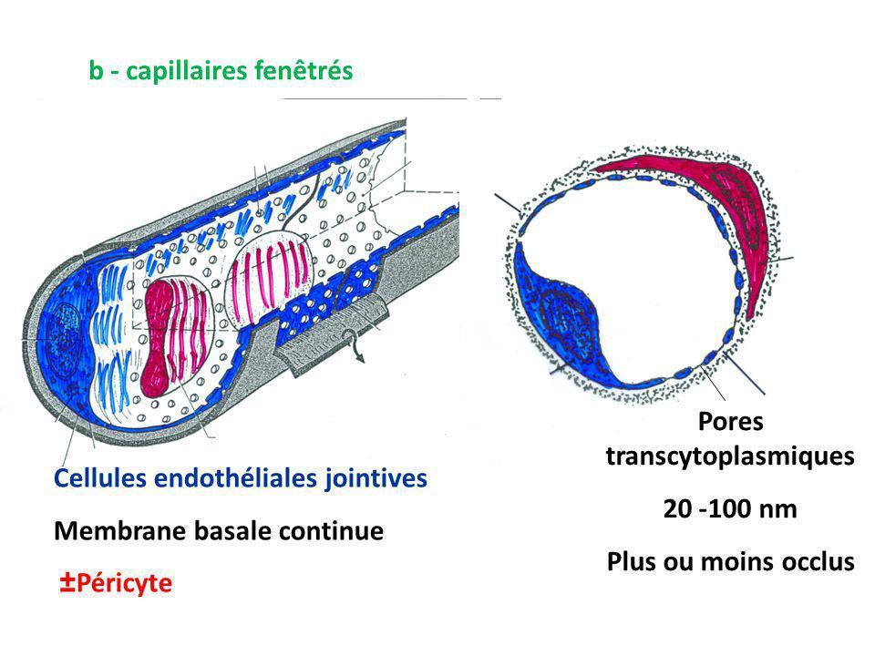 b - capillaires fenêtrés Cellules endothéliales jointives Membrane basale continue ±Péricyte Pores transcytoplasmiques 20 -100 nm Plus ou moins occlus