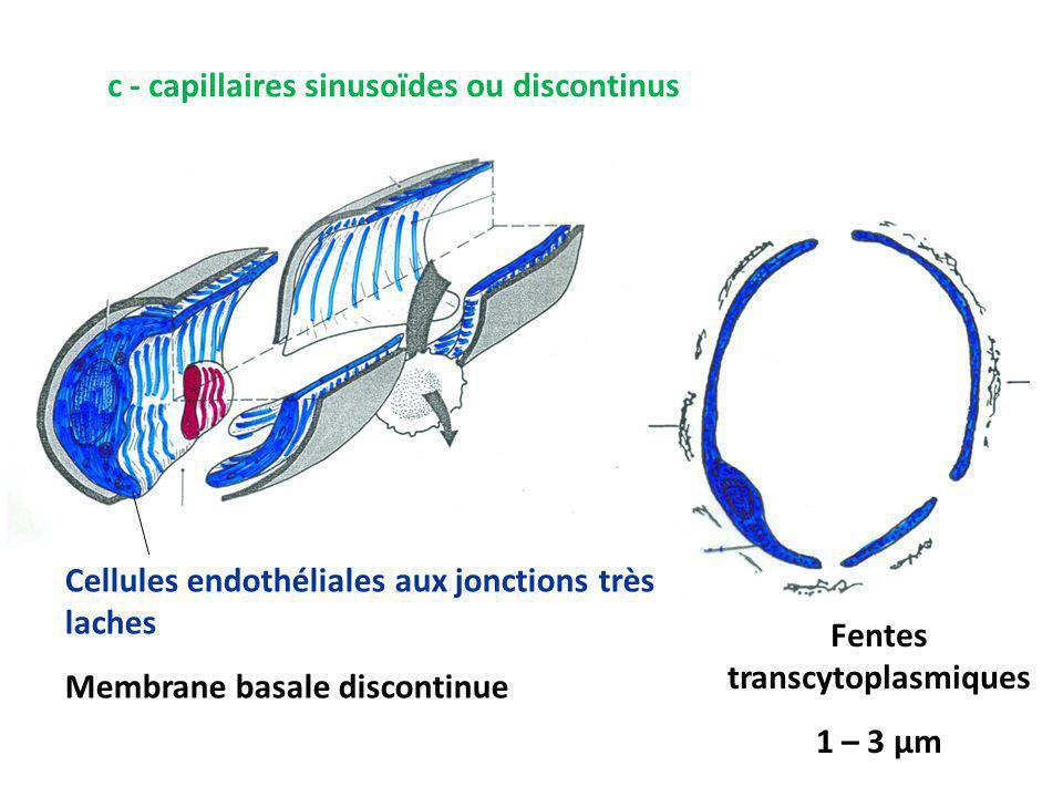 c - capillaires sinusoïdes ou discontinus Cellules endothéliales aux jonctions très laches Membrane basale discontinue Fentes transcytoplasmiques 1 – 3 μm