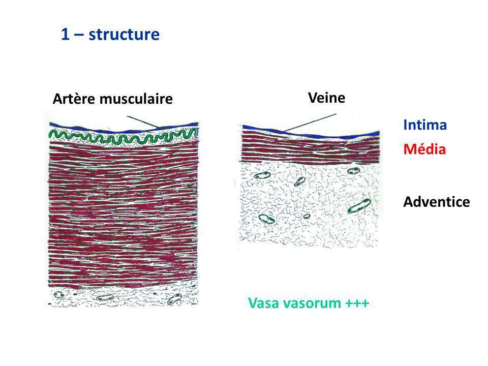 Artère musculaire Veine Intima Média Adventice Vasa vasorum +++ 1 – structure