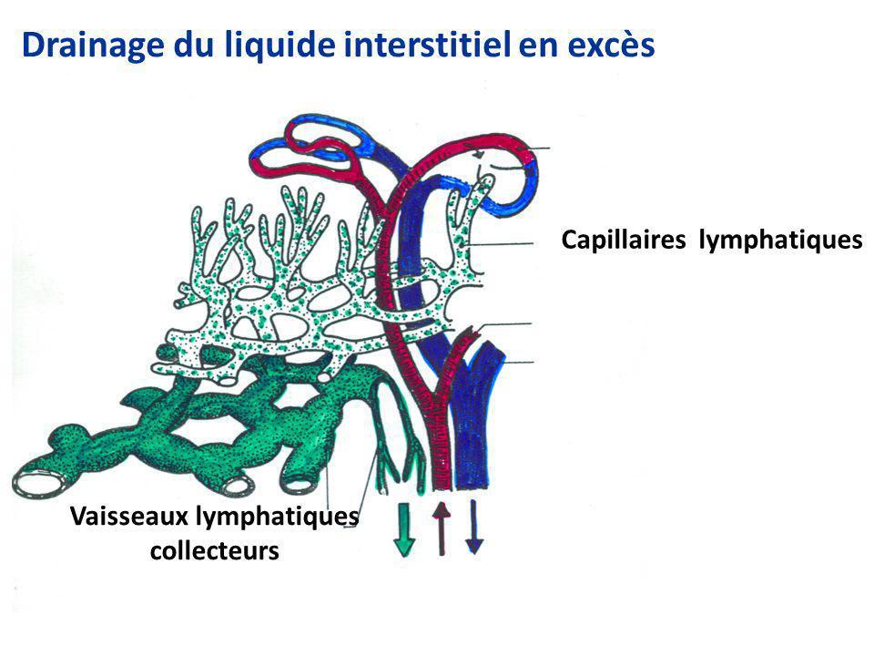 Drainage du liquide interstitiel en excès Capillaires lymphatiques Vaisseaux lymphatiques collecteurs