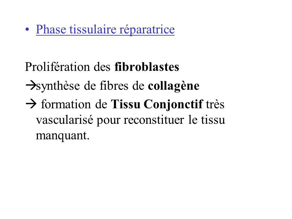 Phase tissulaire réparatrice Prolifération des fibroblastes synthèse de fibres de collagène formation de Tissu Conjonctif très vascularisé pour reconstituer le tissu manquant.