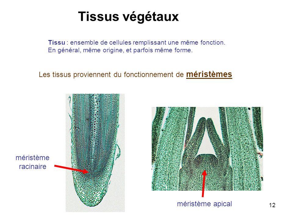 12 Les tissus proviennent du fonctionnement de méristèmes méristème apical méristème racinaire Tissus végétaux Tissu : ensemble de cellules remplissan