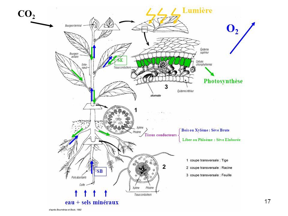 17 eau + sels minéraux SB SE Lumière Photosynthèse Bois ou Xylème : Sève Brute Tissus conducteurs Liber ou Phloème : Sève Elaborée CO 2 O2O2