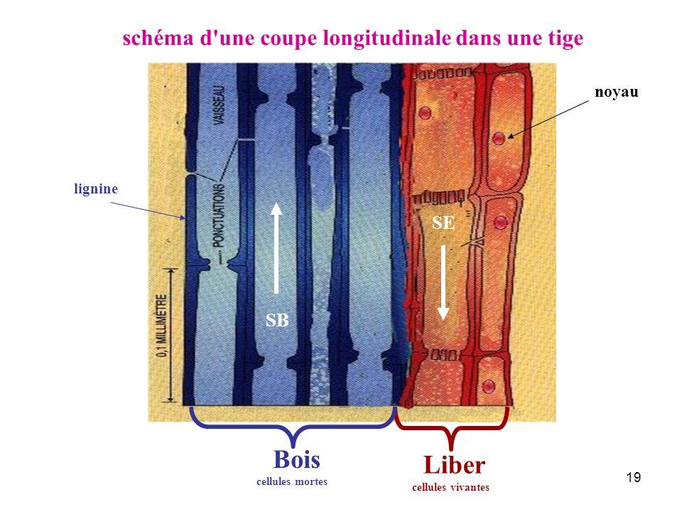 19 Liber schéma d'une coupe longitudinale dans une tige noyau SB Bois SE lignine cellules mortes cellules vivantes