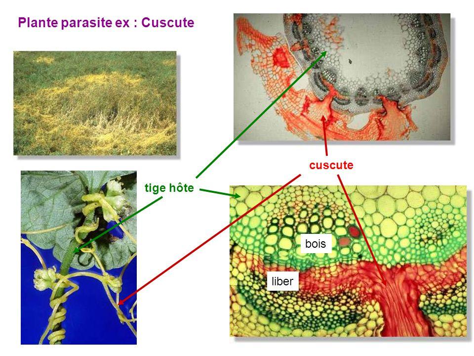 26 Plante parasite ex : Cuscute liber bois cuscute tige hôte