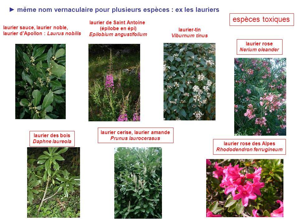 25 Plante hemi-parasite ex : Gui plante verte : Chlorophylle
