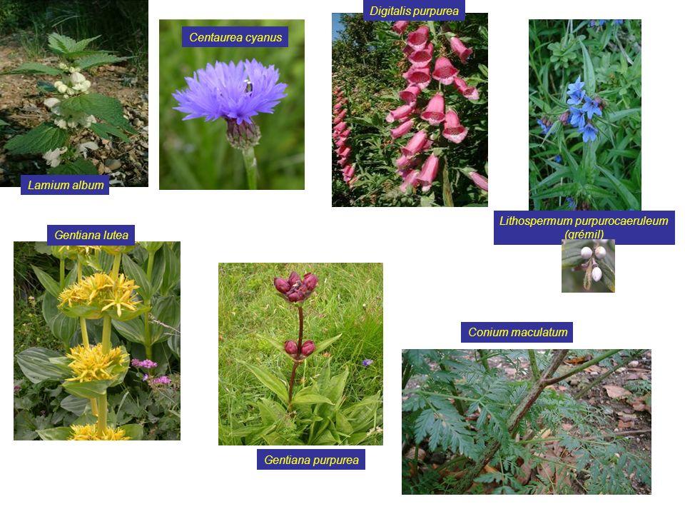 9 Salvia glutinosa Ruscus aculeatus Viscum album Solanum ovigerum Paris quadrifolia Ruta graveolens Dryas octopetala Helleborus foetidus