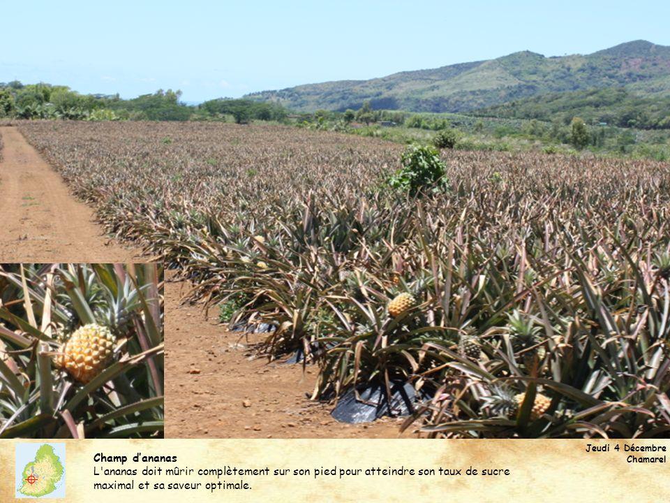 Jeudi 4 Décembre Chamarel Champ dananas L'ananas doit mûrir complètement sur son pied pour atteindre son taux de sucre maximal et sa saveur optimale.