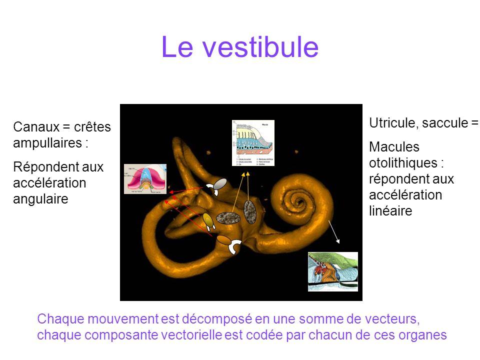 Le vestibule Canaux = crêtes ampullaires : Répondent aux accélération angulaire Utricule, saccule = Macules otolithiques : répondent aux accélération linéaire Chaque mouvement est décomposé en une somme de vecteurs, chaque composante vectorielle est codée par chacun de ces organes
