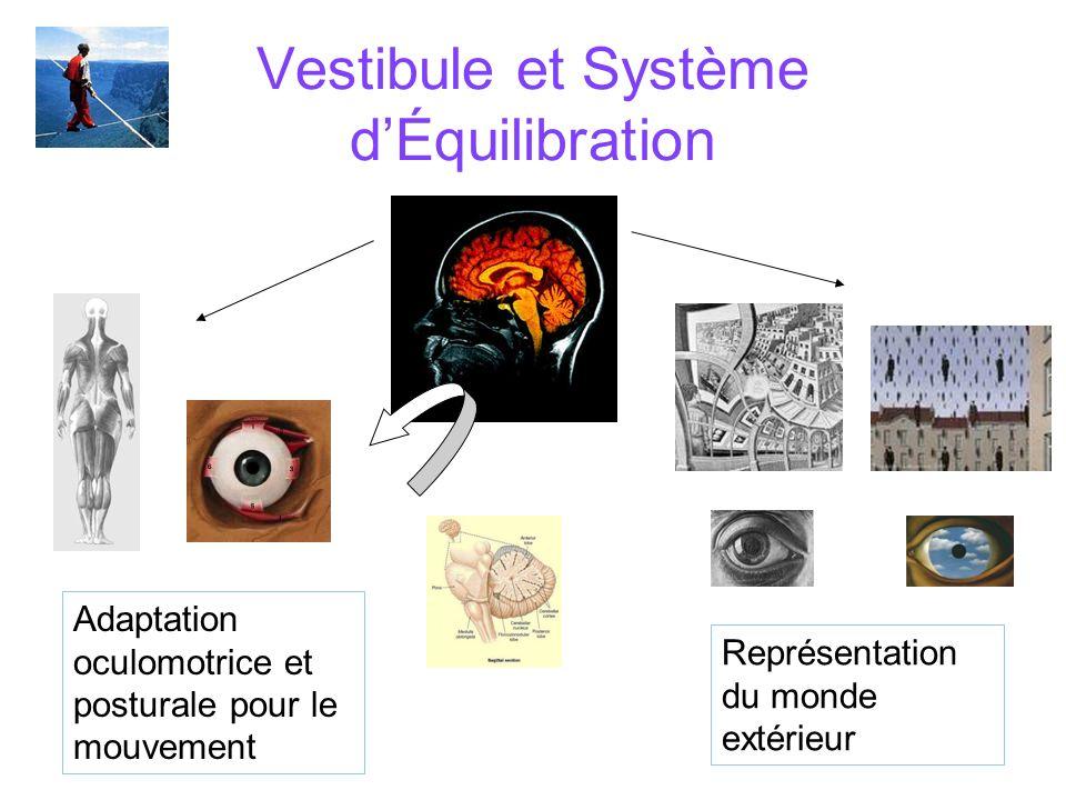Vestibule et Système dÉquilibration Adaptation oculomotrice et posturale pour le mouvement Représentation du monde extérieur