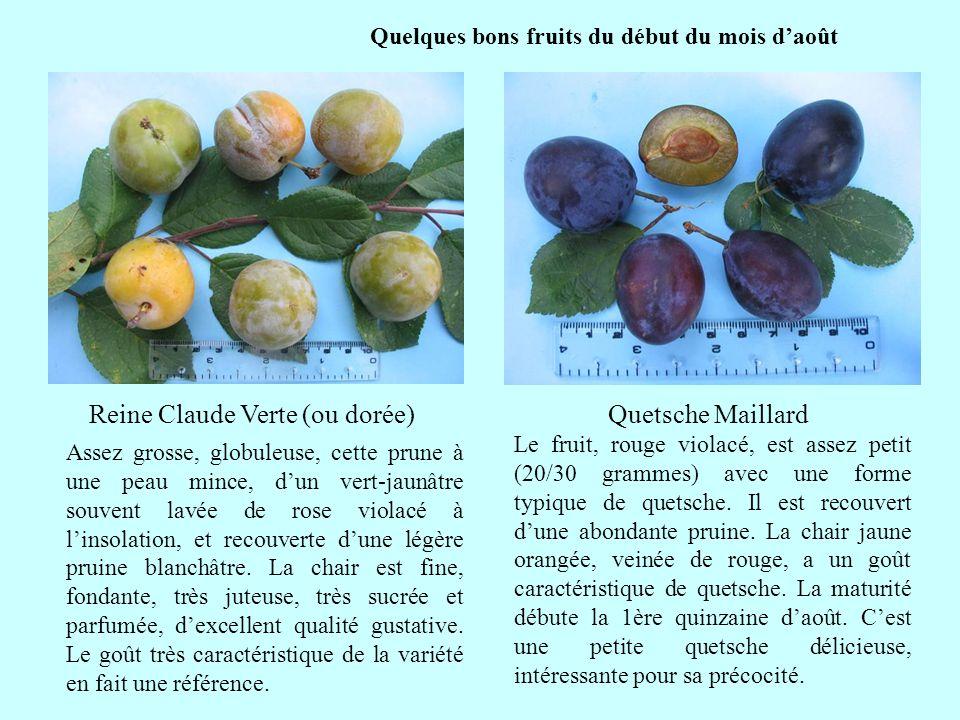 Quelques bons fruits du début du mois daoût suite Le fruit, rouge violacé, est assez petit (20/30 grammes) avec une forme typique de quetsche. Il est
