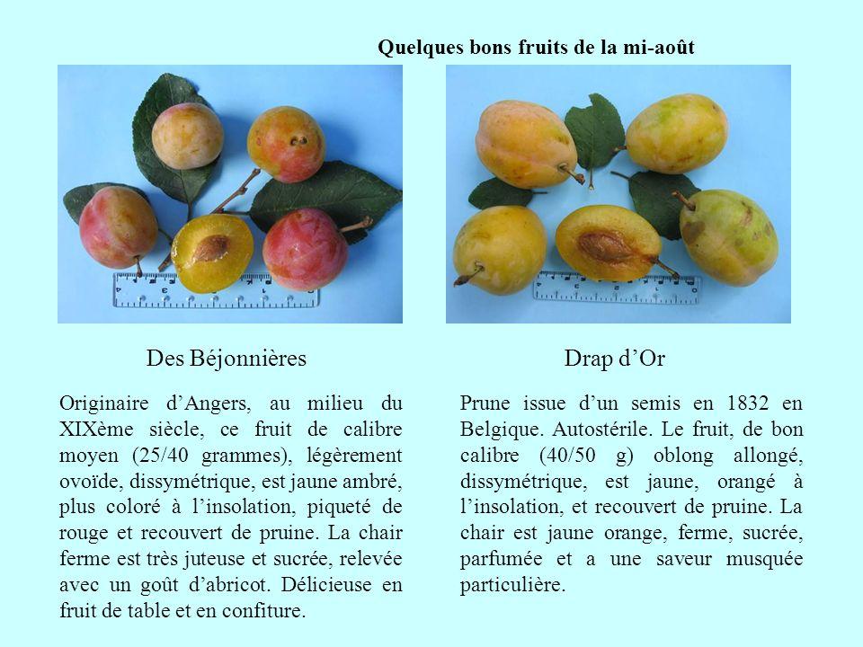 Quelques bons fruits de la mi-août Drap dOrDes Béjonnières suite Originaire dAngers, au milieu du XIXème siècle, ce fruit de calibre moyen (25/40 gram