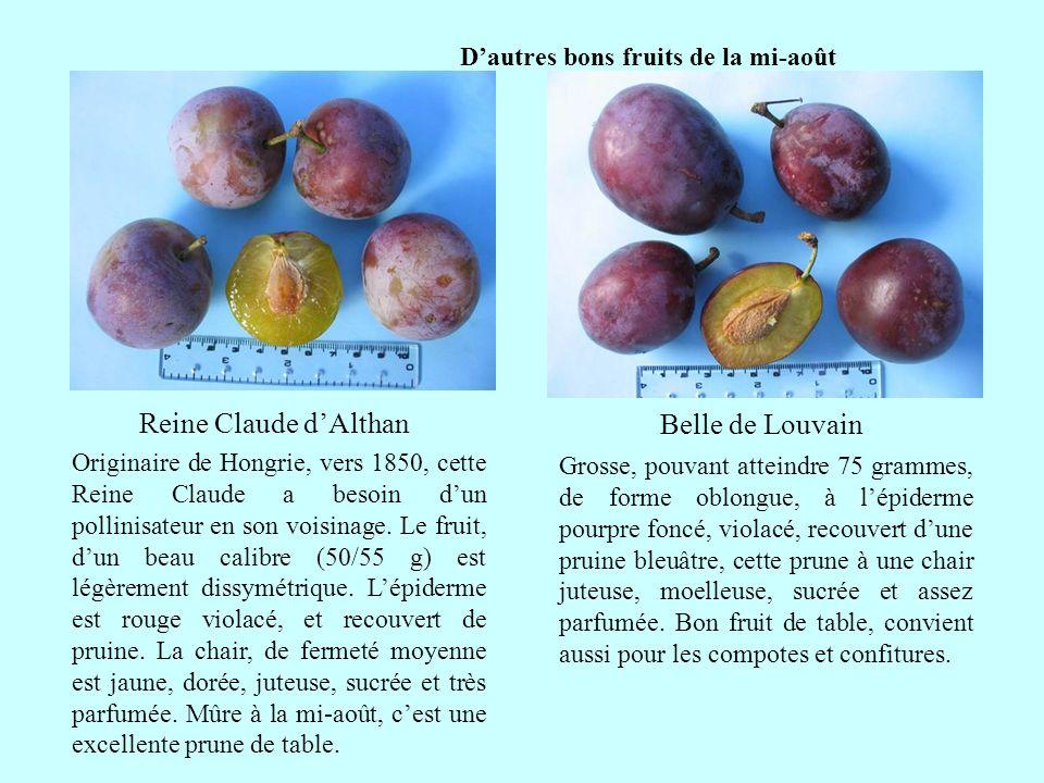 Dautres bons fruits de la mi-août Reine Claude dAlthan suite Originaire de Hongrie, vers 1850, cette Reine Claude a besoin dun pollinisateur en son vo