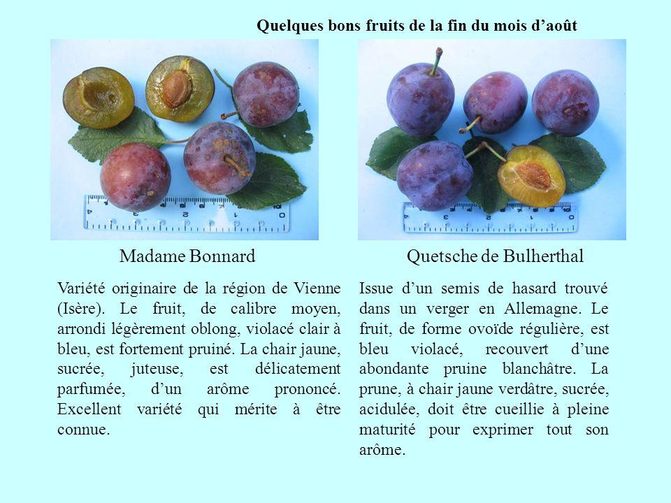 Quelques bons fruits de la fin du mois daoût Quetsche de Bulherthal suite Issue dun semis de hasard trouvé dans un verger en Allemagne. Le fruit, de f