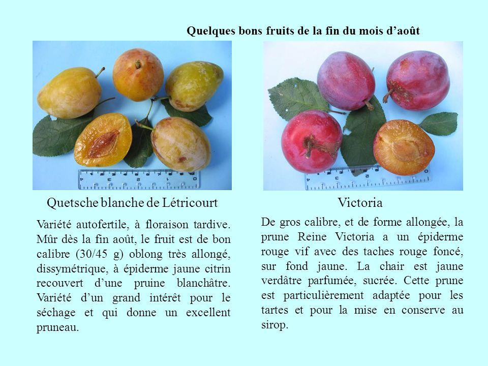 Quelques bons fruits de la fin du mois daoût suite Victoria De gros calibre, et de forme allongée, la prune Reine Victoria a un épiderme rouge vif ave