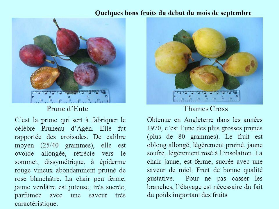 Quelques bons fruits du début du mois de septembre Prune dEnte suite Cest la prune qui sert à fabriquer le célèbre Pruneau dAgen. Elle fut rapportée d