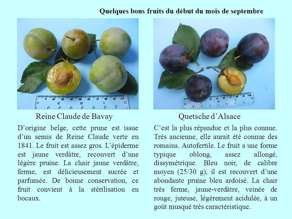 Quelques bons fruits du début du mois de septembre Reine Claude de Bavay suite Dorigine belge, cette prune est issue dun semis de Reine Claude verte e
