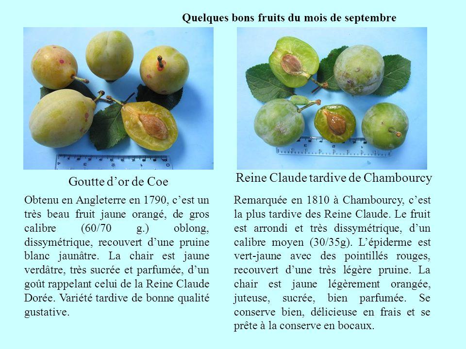 Quelques bons fruits du mois de septembre Reine Claude tardive de Chambourcy suite Remarquée en 1810 à Chambourcy, cest la plus tardive des Reine Clau