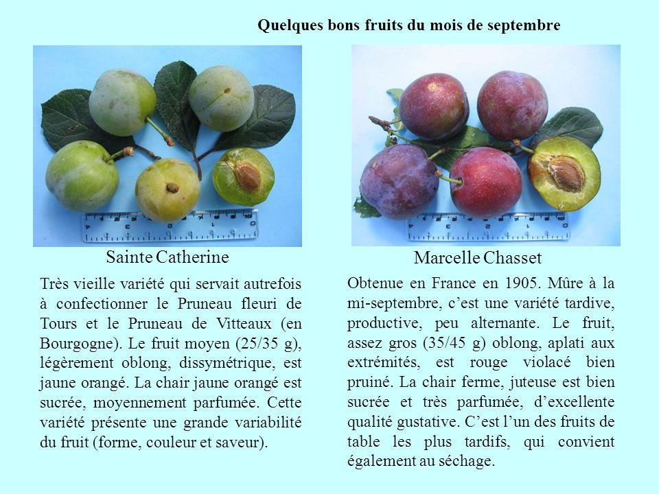 Quelques bons fruits du mois de septembre Sainte Catherine suite Très vieille variété qui servait autrefois à confectionner le Pruneau fleuri de Tours