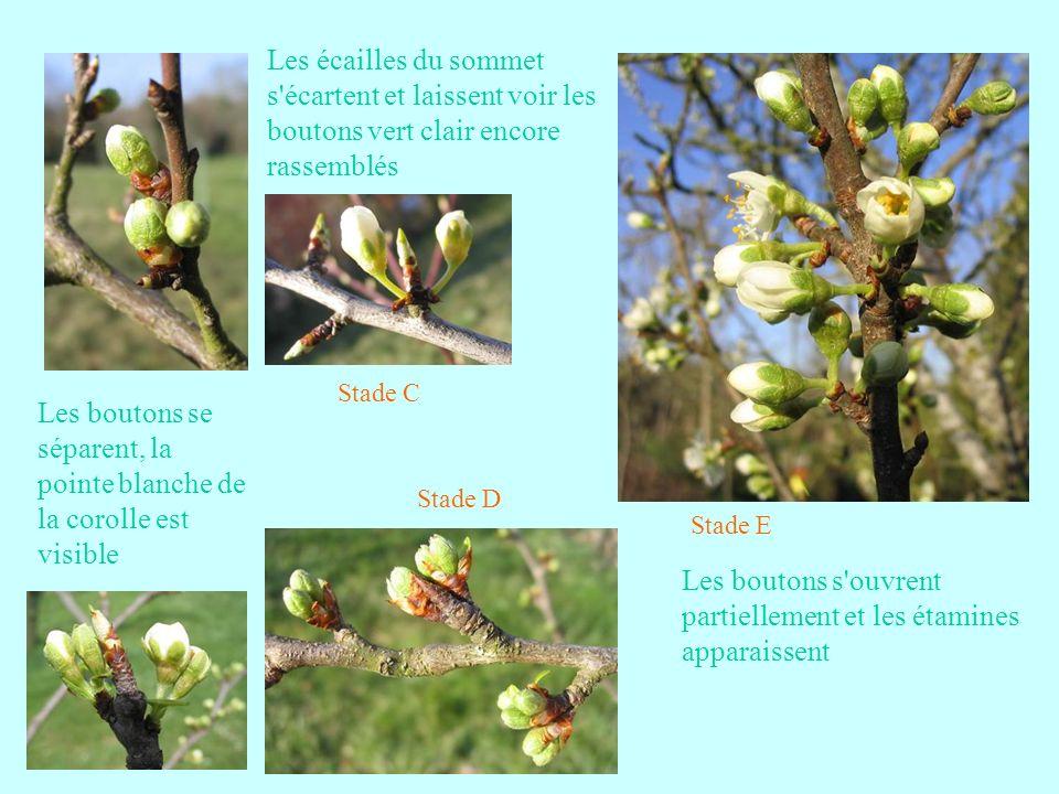 Quelques bons fruits de la fin du mois daoût Perdrigon suite Variété très ancienne dont le nom, issu du Provençal, signifie « de la couleur de la gorge de perdrix ».