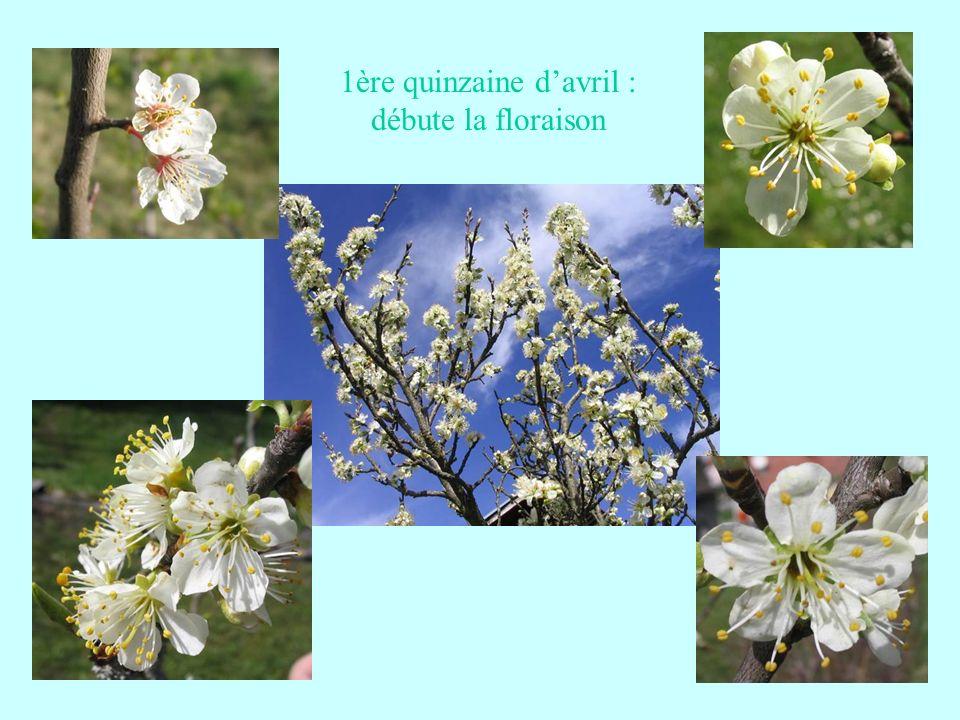 Quelques bons fruits de la fin du mois daoût Quetsche de Bulherthal suite Issue dun semis de hasard trouvé dans un verger en Allemagne.