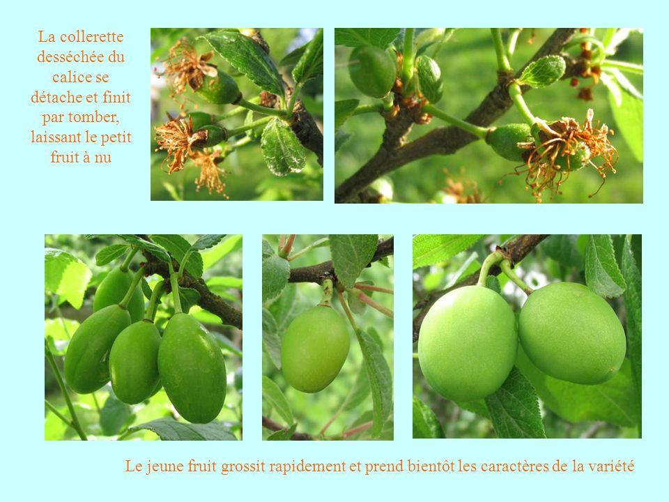 La collerette desséchée du calice se détache et finit par tomber, laissant le petit fruit à nu Le jeune fruit grossit rapidement et prend bientôt les